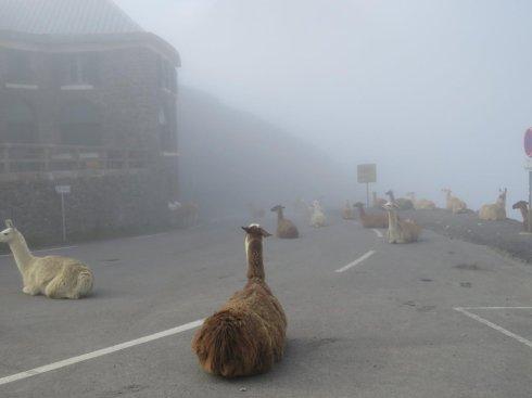 llamasblockingcyclerace